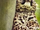 Leopardo-de-amur é espécie em risco que mais cresceu em 2013, diz WWF