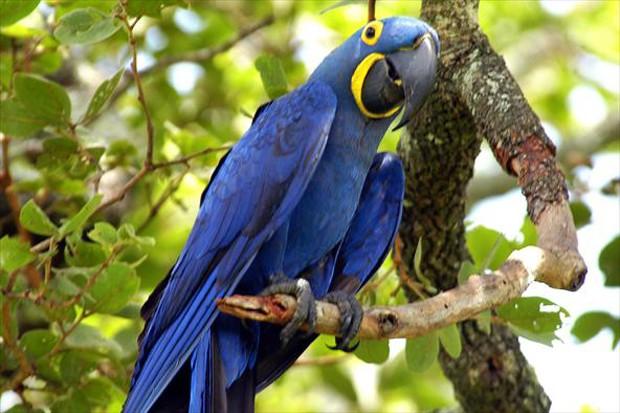 Arara Azul – Guia Completo de Criação e Reprodução  - Página 2 Carlosalbertocoutinho1