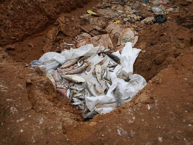 Pescado foi levado para o aterro sanitário (Foto: Superintendência Federal de Agricultura do Amazonas/divulgação)