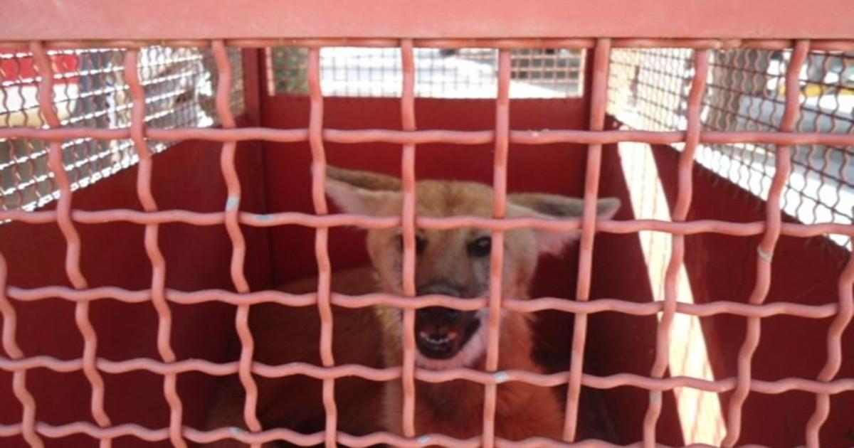 Lobo-guará é solto em mata após ser capturado em São João del Rei - Globo.com