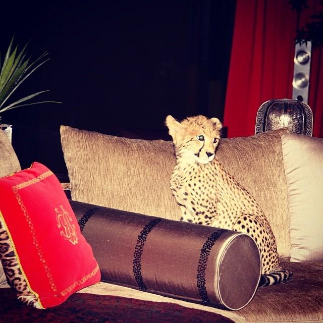 Paris Hilton postou foto de leopardo no sofá da casa de amiga (Foto: Reprodução/Instagram)