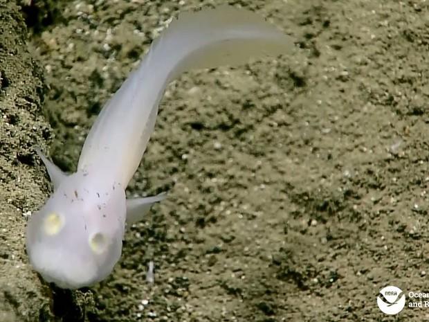 Indivíduos da família Aphyonidae são transparentes e têm pele gelatinosa (Foto: NOAA Ocean Explorer)
