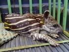 PMA recolhe filhote de anta ferido que estava abandonado em fazenda de MS