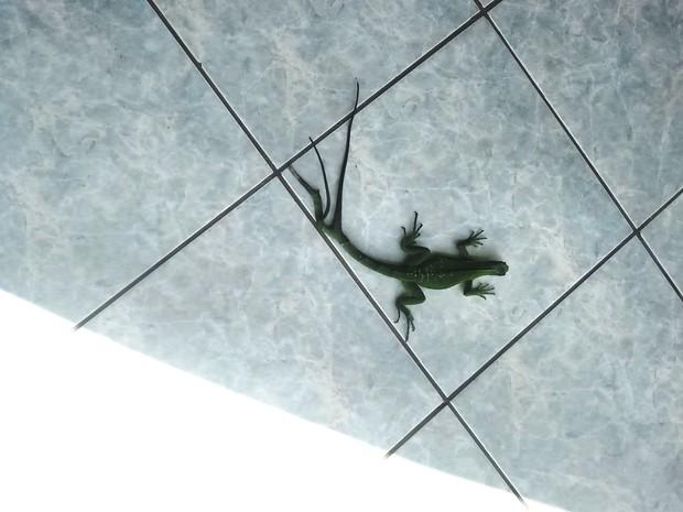 Iguana foi vista andando no pátio de empresa em Ji-Paraná (Foto: Samira Lima/ G1)