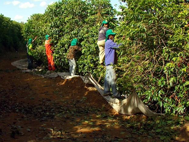 Trabalhadores apanham café na região de Campinas  (Foto: Reprodução EPTV)