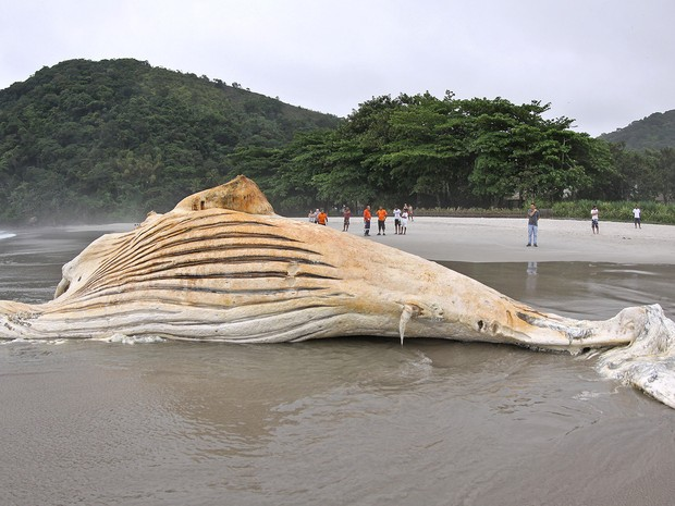 Baleia foi encontra na Praia de Cambury, em São Sebastião, na tarde desta segunda-feira (2) (Foto: Munir El Hage/PMSS)