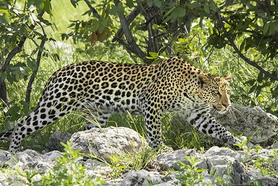 Afinal, a foto tão cobiçada de um leopardo  (Foto: © Haroldo Castro/ÉPOCA)
