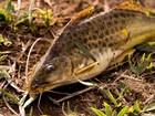 Médicos alertam para perigos de metais em peixes do Rio Doce
