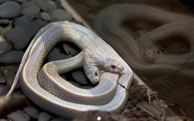 Cobra de duas cabeças é exibida nesta terça-feira (19) em zoo de Moscou, na Rússia (Foto: Katya Abramkina/AFP)