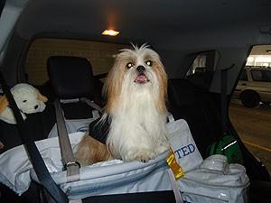 Ted viaja na cadeira para cães que é presa ao cinto de segurança (Foto: Lílian Marques/ G1)