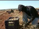 Excesso de chuva prejudica produtividade do alho em GO