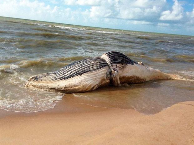 Baleia encontrada morta na Bahia (Foto: Cássio de Oliveira/Liberdadenews.com.br)