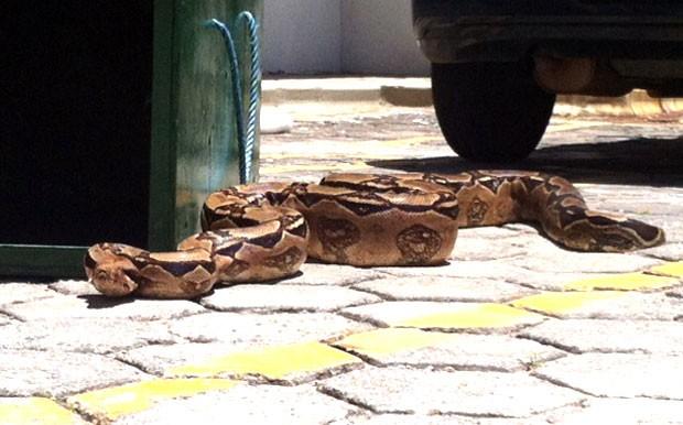 Cobra foi levada pelos guardas municipais para o Aquário Natal, onde ficará em quarentena (Foto: Anderson Barbosa/G1)