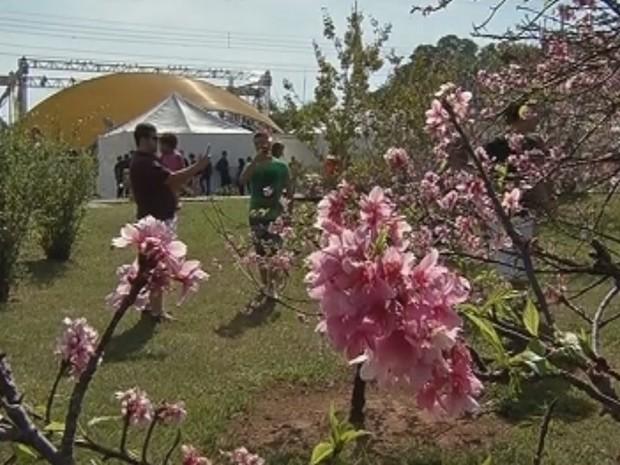 Festa das cerejeiras atraiu público recorde (Foto: Reprodução / TV TEM)