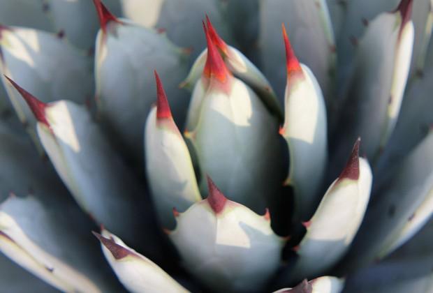 Agaves (Foto: Carol Costa/Minhas Plantas)