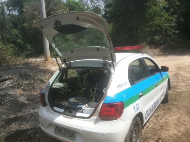 Pés de maconha foram apreendidos em Araçoiaba da Serra (Foto: Divulgação/Guarda Civil Municipal)