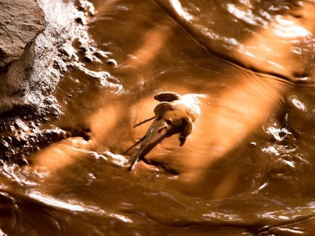 Peixe na lama de mineração, no Rio Doce (Foto: Leonardo Merçon/ Instituto Últimos Refúgios)