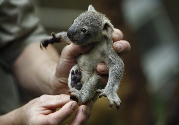 Zoológico de Duisburg, na Alemanha, informou que filhote de coala pesa 350 g, e que ainda não ganhou um nome (Foto: Ina Fassbender/Reuters)
