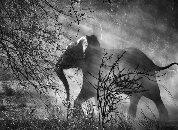 Perseguidos por caçadores furtivos na Zâmbia, os elefantes (Loxodonta africana) têm medo dos homens e dos veículos, e geralmente, entram rapidamente no mato, assustados. Parque Nacional de Kafue, Zâmbia. 2010 (Foto: Sebastião Salgado/Divulgação)