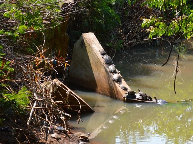 Segundo a UFMS, os cágados são animais bem tolerantes a ambientes antropizados e muitas vezes poluídos. (Foto: Anderson Viegas/Do G1 MS)