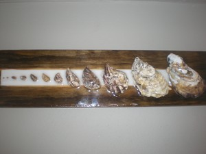 Quadro mostra a evolução de crescimento das ostras (Foto: Luíza Fregapani/G1 SC)