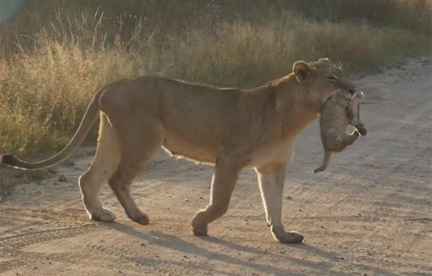 Leoa foi filmada ajudando filhote a atravessar estrada de terra em parque africano (Foto: Reprodução/YouTube/Kruger National Park)