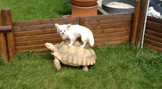 Vídeo mostra tartaruga pesseando com cão  (Foto: Reprodução)