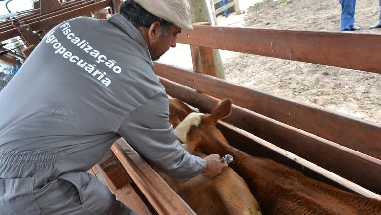 febre-aftosa-vacinacao-boi-pecuaria (Foto: Thais D'Avila/Secom SC)