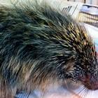 Ouriço ferido  é levado para tratamento  (Divulgação/PMPA)