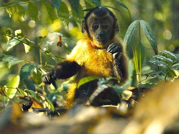 Castanha, o macaco-prego protagonista de 'Amazônia'  (Foto: Divulgação/Araquém Alcântara)