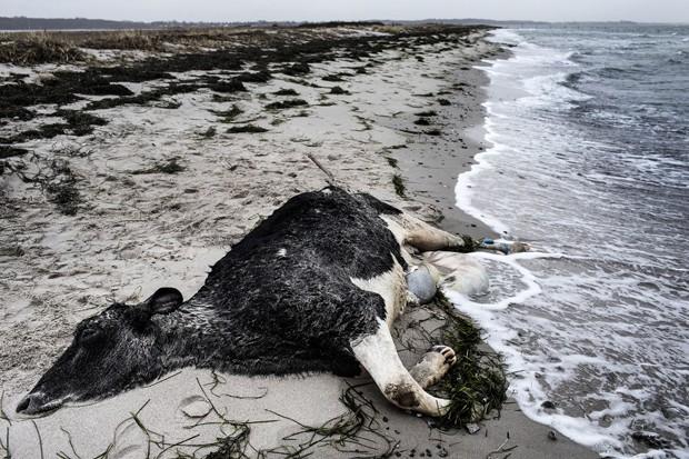 Cerca de 11 animais apareceram mortos na costa de dois países na Escandinávia, e episódio deixou as autoridades intrigadas (Foto:  Polfoto, Niels Hougaard/AP)