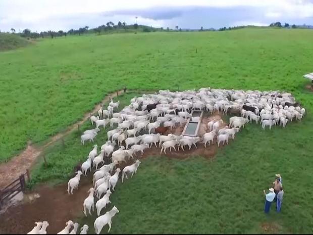 Região Tocantina tem 30% de todo o rebanho bovino do Maranhão (Foto: Reprodução/TV Mirante)
