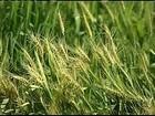 Geadas atingem plantações de trigo  em SP e no PR