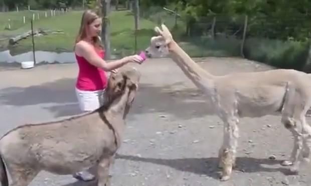 Burro 'ciumento' não deixou que lhama se aproximasse de sua nova amiga em zoológico (Foto: Reprodução/YouTube/Justus Randle)