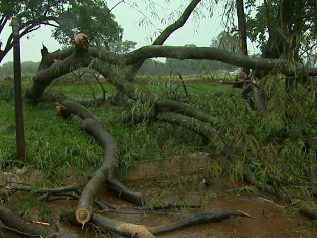 Árvore de grande porte caiu em Sertãozinho e provocou congestionamento (Foto: Alexandre Sá/EPTV)