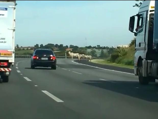 Vacas invadem a Rodovia dos Bandeirantes, em Campinas, nesta quinta-feira (Foto: Reprodução EPTV)