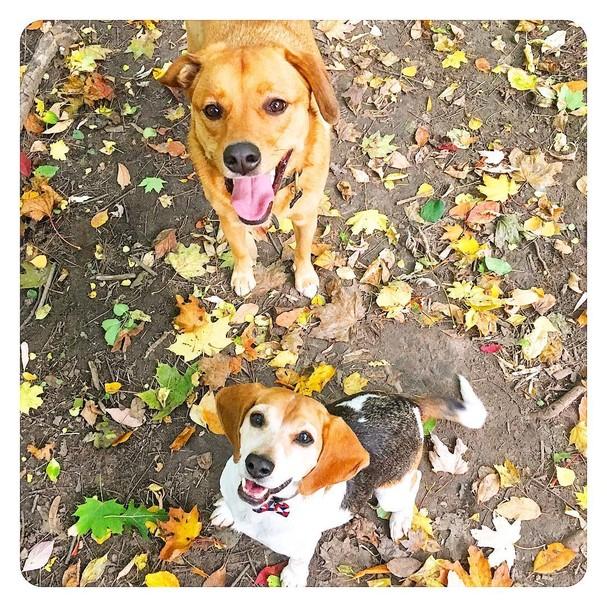 Bogart, o vira-lata, não poderá morar com Meghan e Harry; Guy, o beagle, sim. Ambos são adotados. (Foto: Instagram/Reprodução)