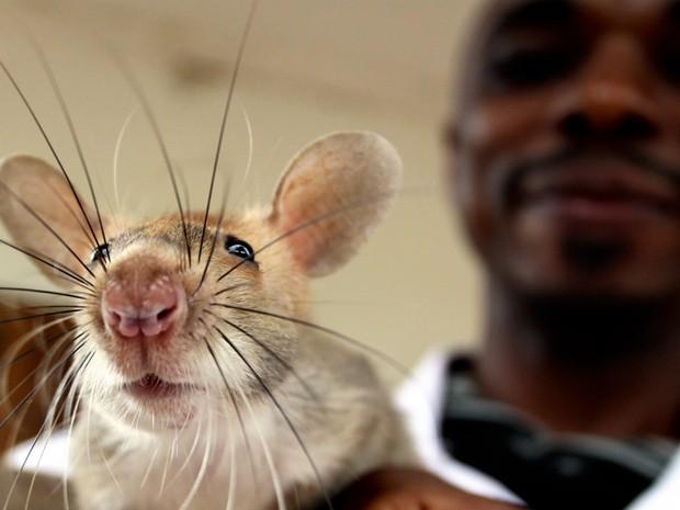 """""""Ratos heróis"""" são recompensados com banana ou amendoim por fazerem diagnóstico correto (Foto:  Brian Johnsonrat/Apopo/Divulgação)"""