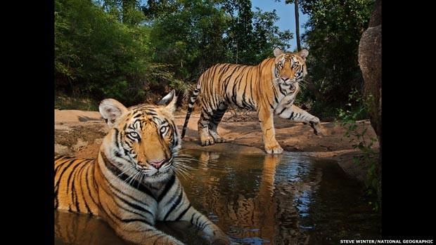 O tigre fotografado na Índia recebeu o nome Smasher ('destruidor' em inglês) porque acabou com uma das câmeras usadas pelo fotógrafo (Foto: Steve Winter/National Geographic)