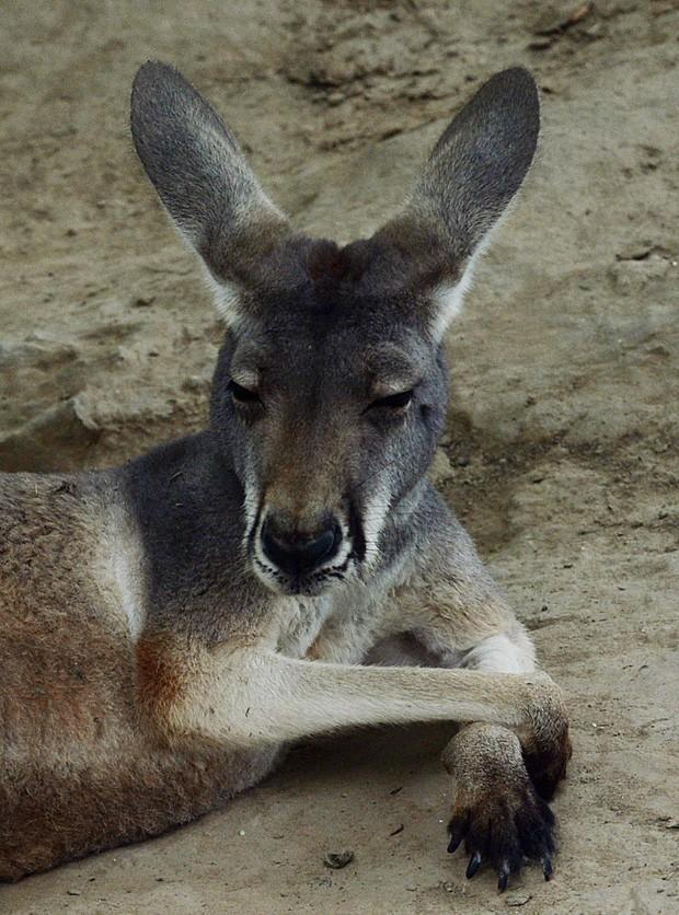 Canguru australiano aparece com as patas cruzadas e encara fotógrafo ao fazer pose em zoológico na China (Foto: Mark Ralston/AFP)