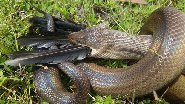 Phill Mangion flagrou píton enorme devorando ave em parque aquático (Foto: Reprodução/Facebook/Northern Territory Parks and Wildlife)