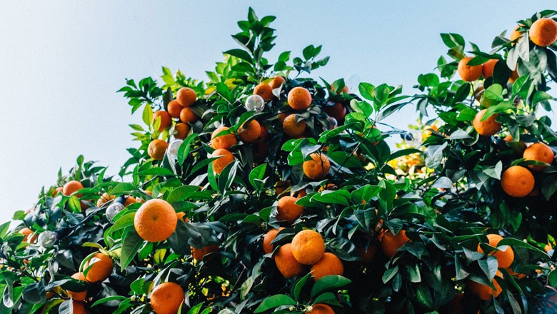 laranja-laranjeira (Foto: Unsplash/Creative Commons)