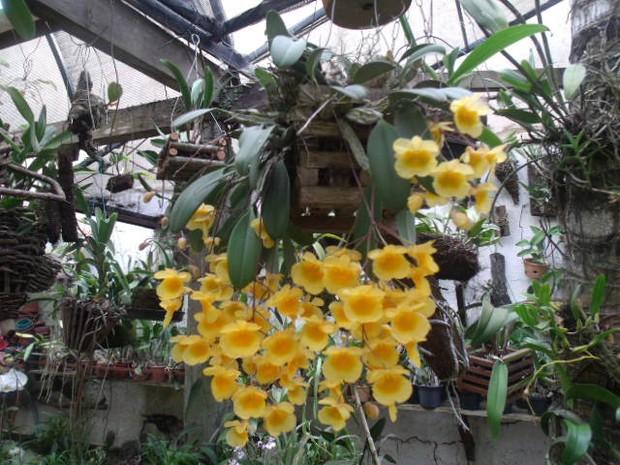 Festival de Orquídea de Cabo Frio (Foto: Divulgação/Orquídeas Marinho)