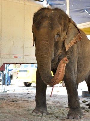 A elefanta pesa aproximadamente quatro toneladas (Foto: Divulgação/Secom-JP)
