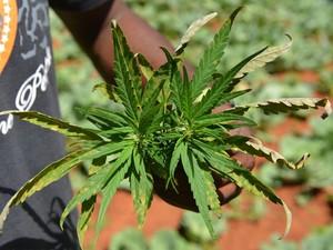 'Breezy' mostra folha de cannabis (Foto: AP Photo/David McFadden)