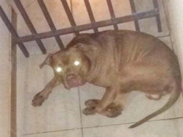 Pit bull foi recolhido pelo dono depois de atacar jovem em ponto de ônibus (Foto: BPChoque/Divulgação)