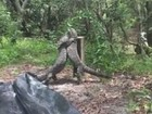 Lagartos enormes são flagrados brigando em ilha australiana
