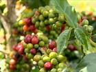 Volta da chuva ajuda na recuperação de lavouras de café cultivadas em MG