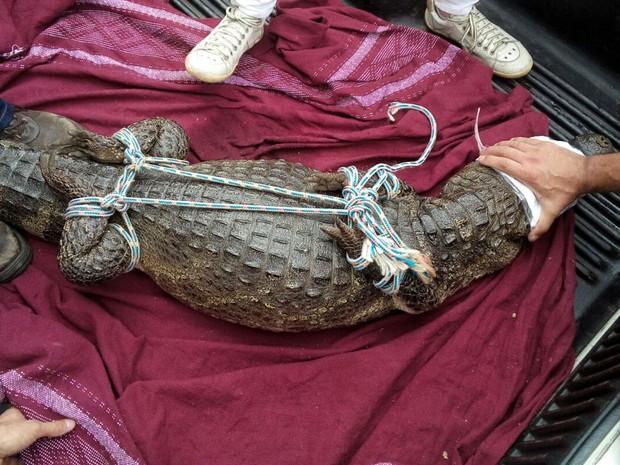 Jacaré foi imobilizado após captura para que não se machucasse ao ser levado para zoológico em Paulínia (Foto: Roberto Stevenson / Arquivo pessoal)