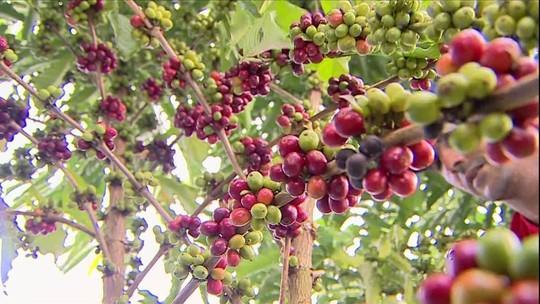 Produção de café conilon deve aumentar 20% em Rondônia